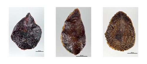 Eucalyptus pileata, Eucalyptus kondininensis, Eucalyptus griffithsii - ANBG